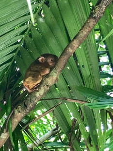 Scared little Tarsier
