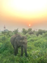 Wild elephant sunrise