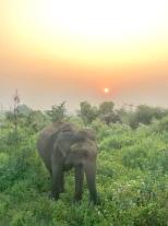 Wild elephant sunrise